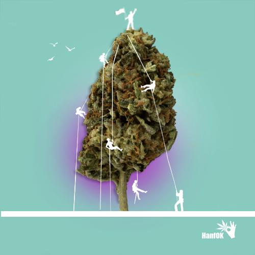 Cannabisknospe Bergsteiger