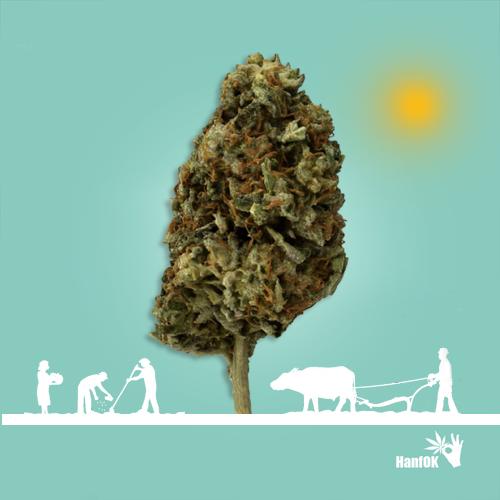 Cannabis Feldarbeiter