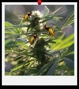 Hanf rettet Bienen